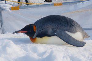 旭山動物園ペンギン
