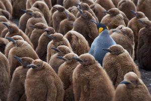 King Penguin Creche